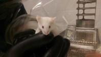gnotobiotic-mouse