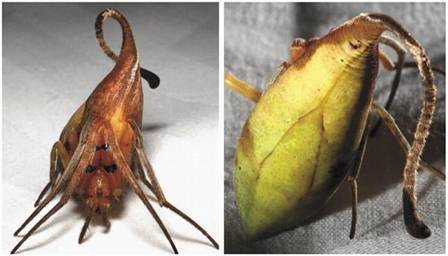 poltys-species
