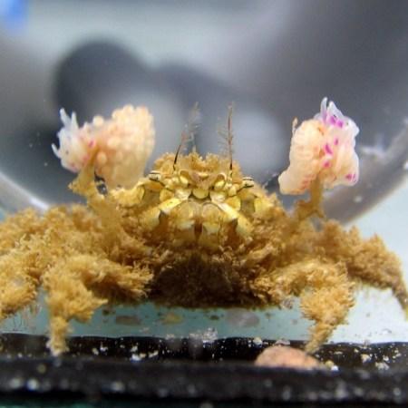 Lybia leptochelis