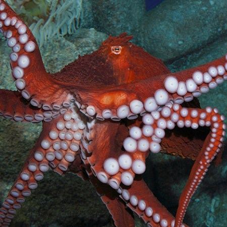 Giant Pacific octopus, Enteroctopus dofleini