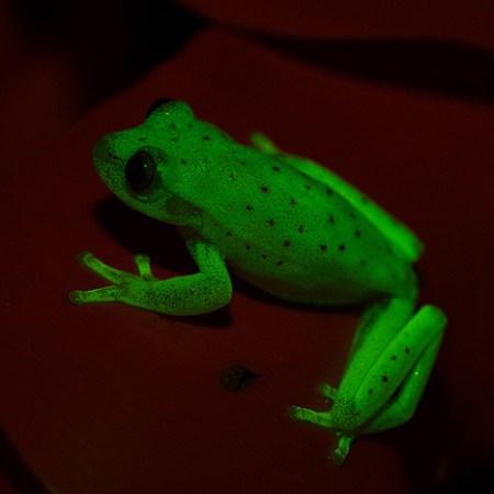 Hypsiboas fluorescence