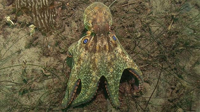 Octopus-bimaculoides