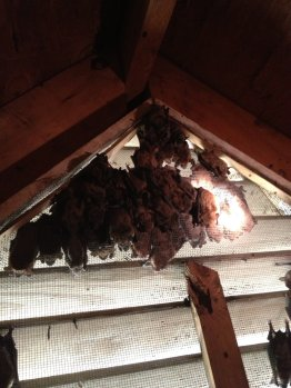 Bat colony in Roswell Georgia