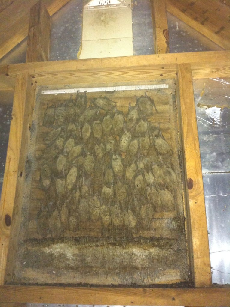 Bat Inspection Removal Call in Gainesville