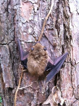 Bat Removed from an attic in Alpharetta