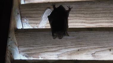 bat in gable vent