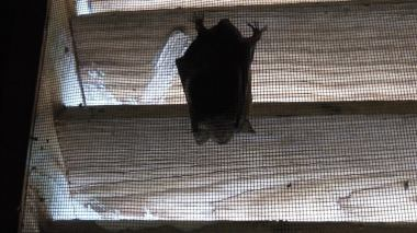 bat in gable vent