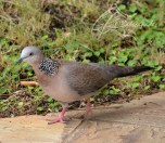 spotted-dove