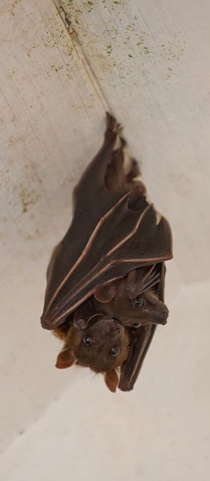bat and baby Bats In Attic
