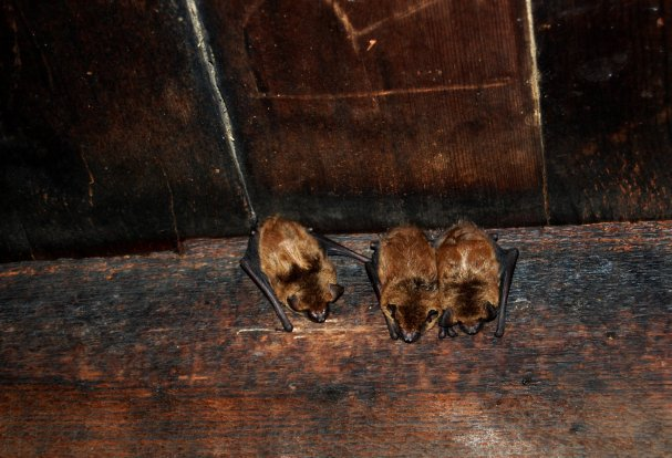 bat removal usa - bats roosting in attic