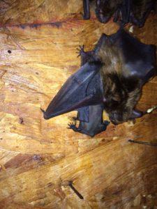 Atlanta Bat
