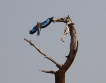 Lilac-breasted Roller landing on a tree. Chobe National Park, Botswana
