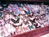 Butterflies not free to soar