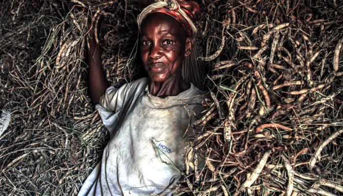Une récolte d'haricot au Congo