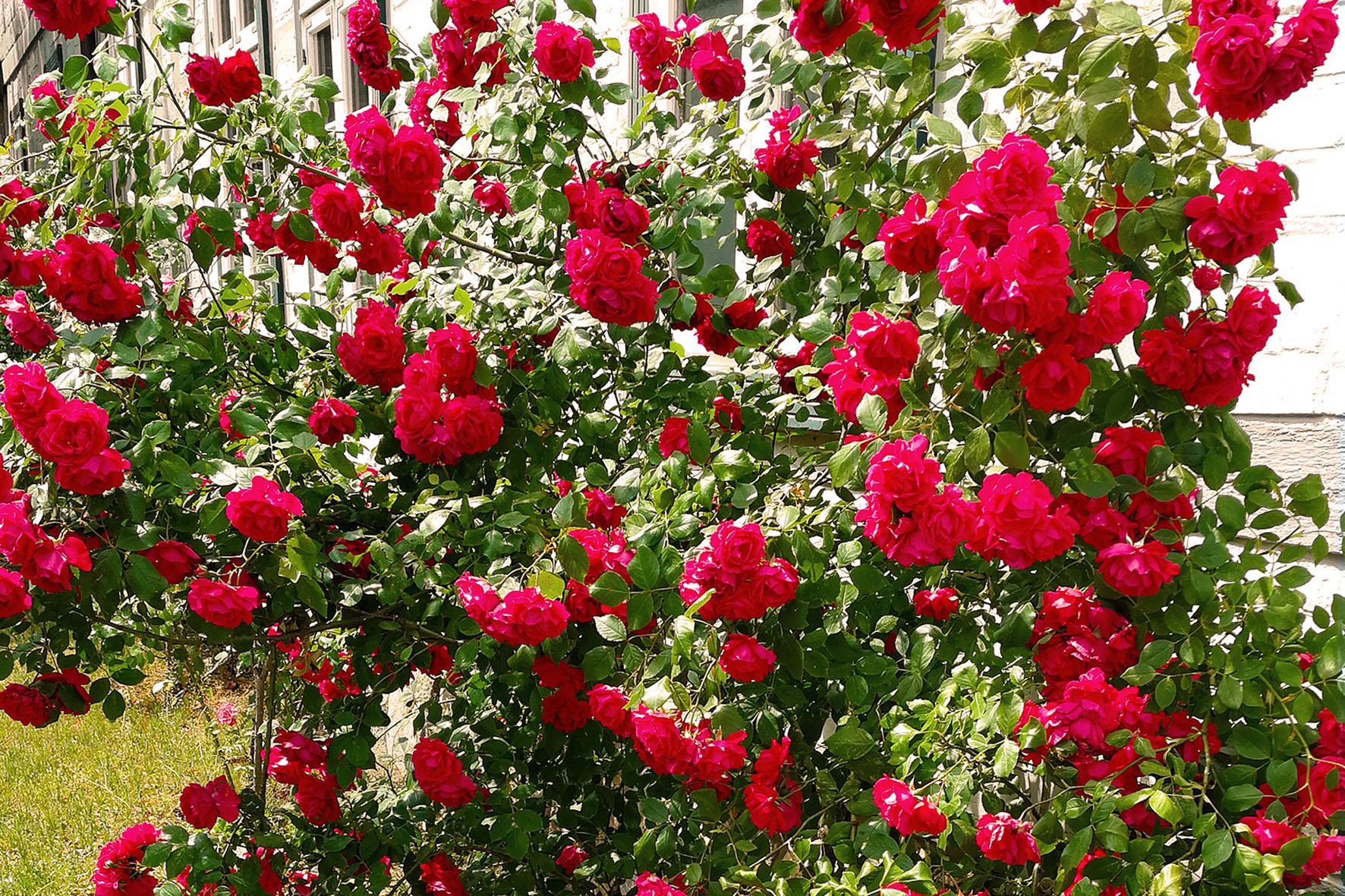 Rosenpracht bis in den Herbst