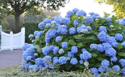 Hortensien in voller Blüte