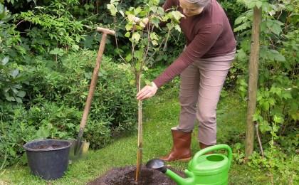 Frau pflanzt Obstbäume