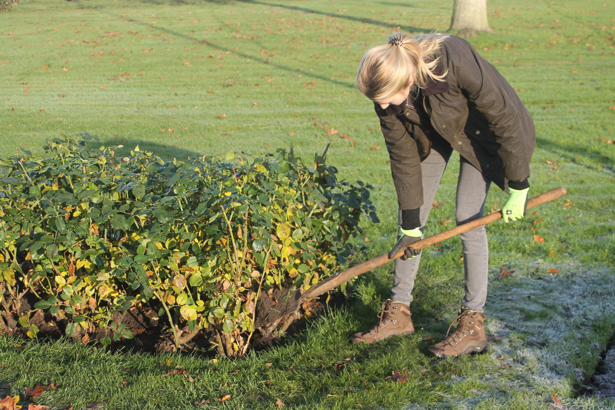 Rosen richtig auf den Winter vorbereiten