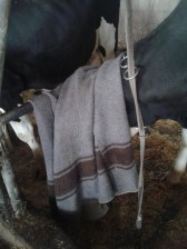 Unsere Holsteinkuh beim Inhalieren der Salzlösung