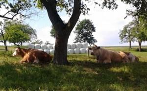 Urlaub Bauernhof Kühe an Baum (640x396)
