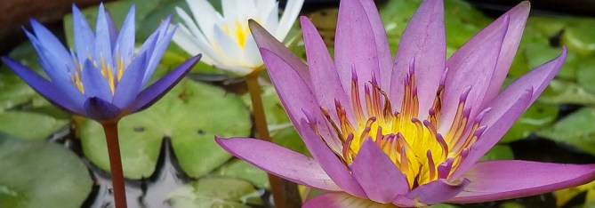 Water Lilies in a container garden pond