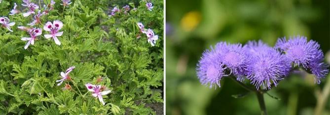 Citronella Geraniums and ageratum