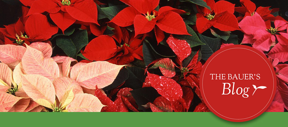 Poinsettias Featured Image