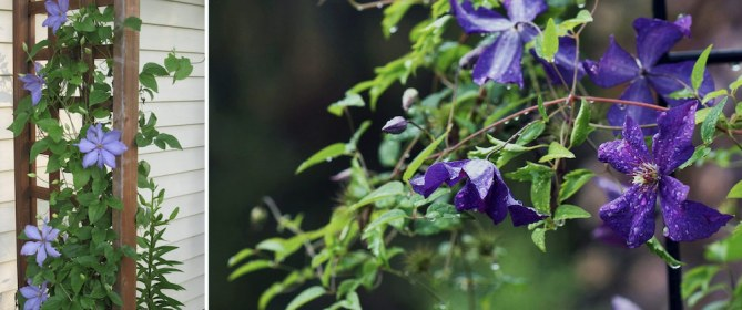how to plant and prune clematis
