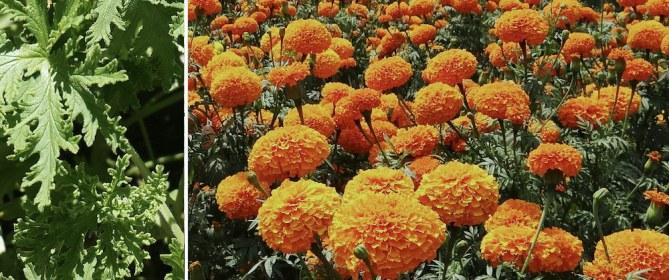 marigolds citronella mosquito repelling plants