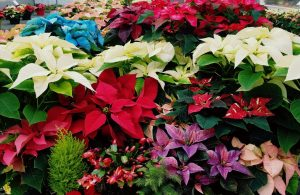 National Poinsettia Day @ Bauer's Market & Garden Center | La Crescent | Minnesota | United States