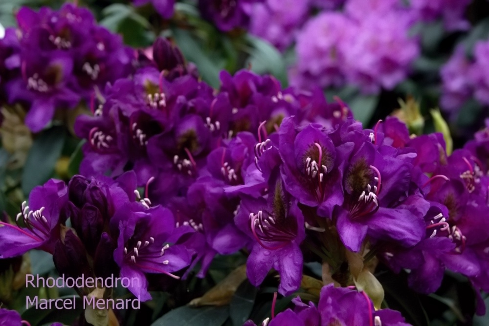 Rhododendron Marcel Menard