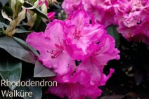 Rhododendron Walküre