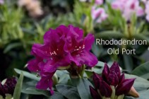 Rhododendron Old Port
