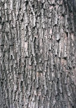 """Acer campestre textura del tronco"". Lizenziert unter Creative Commons Attribution-Share Alike 3.0 über Wikimedia Commons - http://commons.wikimedia.org/wiki/File:Acer_campestre_textura_del_tronco.jpg#mediaviewer/File:Acer_campestre_textura_del_tronco.jpg"