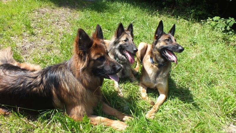 Schimmelhund Kosten ab 300€