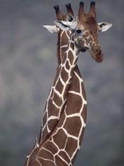Giraffkram