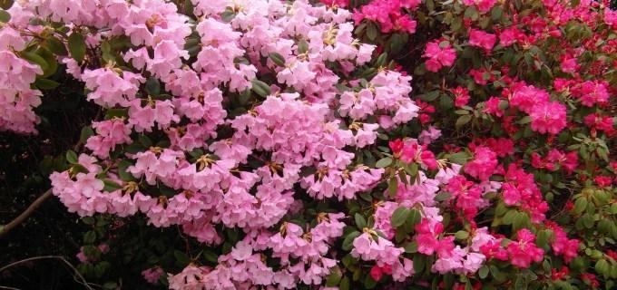 Rhododendron Pflege