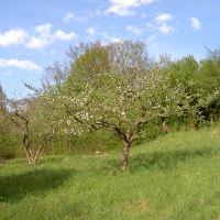 Wiederbepflanzung Streuobstwiese