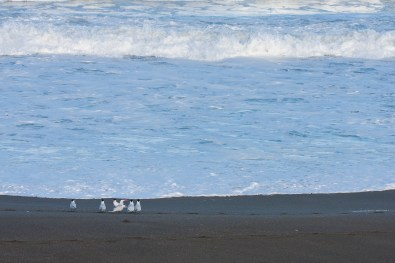 pacifica birds black sand ocean