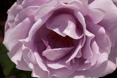 rose-light purple