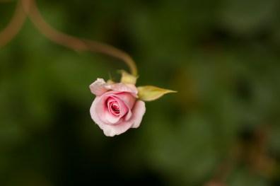 rose-pink bud