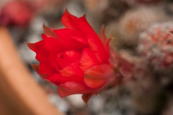 red flower succulent (1)
