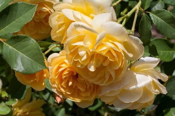 Rose at Filoli