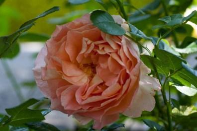 Rose at Filoli_1