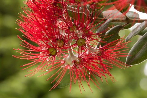 Red Brush Flowers Tree