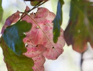 transparent pink leaf