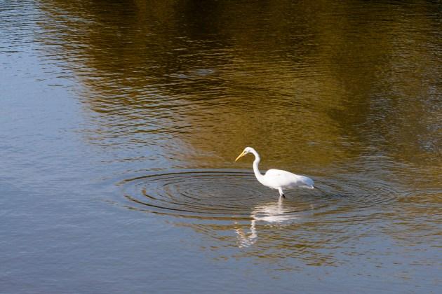 egret-ripples