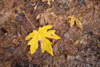 161124-wunderlich-bright-yellow-leaf
