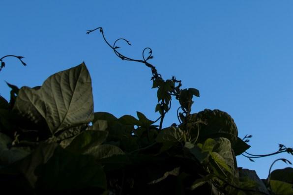 121616-vine-reaching-to-sky