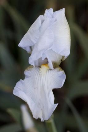 011317white-iris-one-petal-unfurled